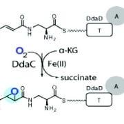the nonribosomal peptide old pub14